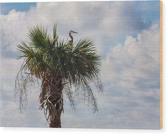A Great Blue Heron Nests On A Cabbage Palmetto Wood Print