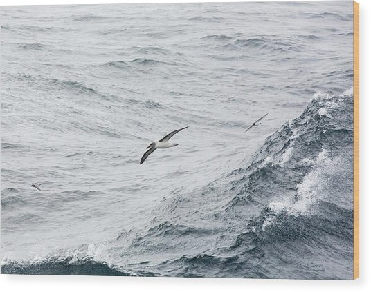 A Grey Headed Albatross Wood Print
