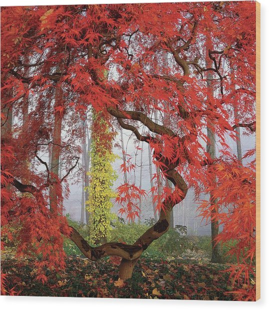 A Japanese Maple Tree Wood Print