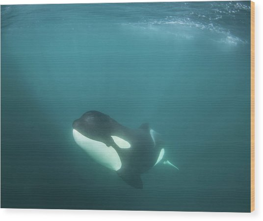 A Killer Whale Under The Water Wood Print