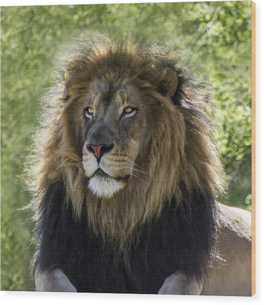 A Lion's Thoughts Wood Print