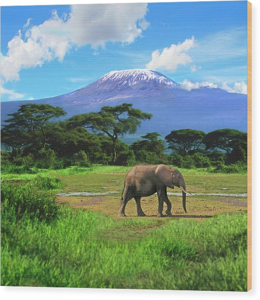 A Lone African Elephant (loxodonta Wood Print