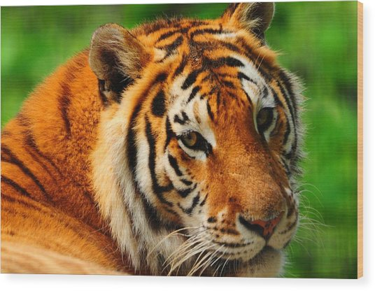 A Look From A Tiger Wood Print by Valarie Davis