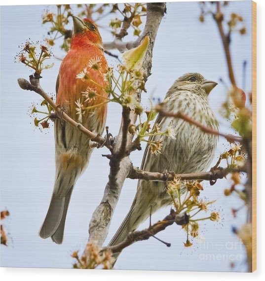 A Pair Of House Finches Wood Print