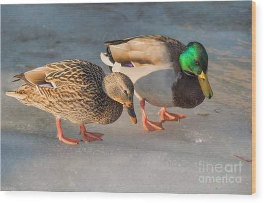 A Pair Of Mallards On Frozen Lake Wood Print