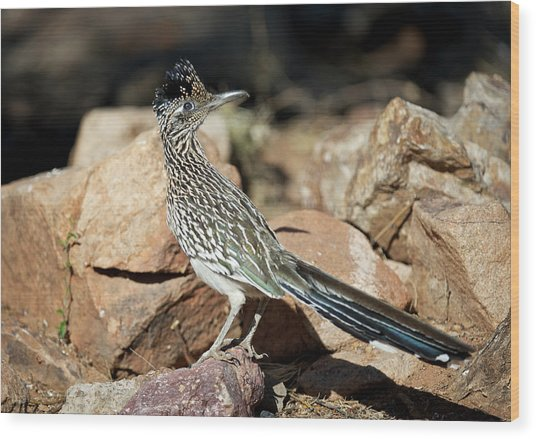 A Road Runner Pauses Momentarily Wood Print by Richard Wright