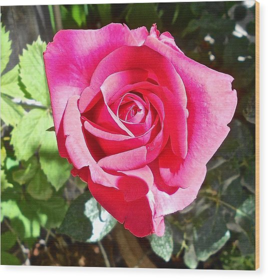 A Rose Is Wood Print