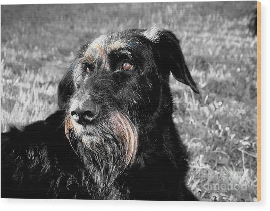 A Schnauzer's Plea  Wood Print by Jo Collins