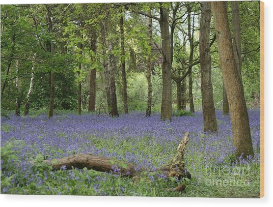 A Sea Of Bluebells Wood Print