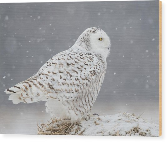 A Side Portrait Of Snowy Owl Wood Print by Ming H Yao