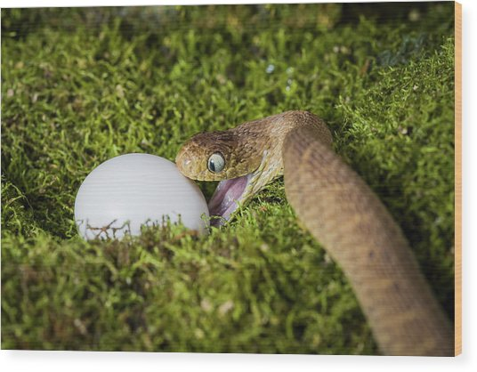 A Snake Attacking An Egg Wood Print