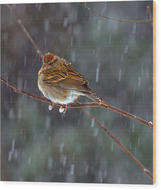 A Sparrow In Snow  Wood Print