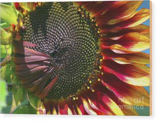 A Sunflower For The Birds Wood Print