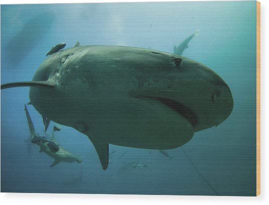 A Tiger Shark Inspecting The Camera Wood Print