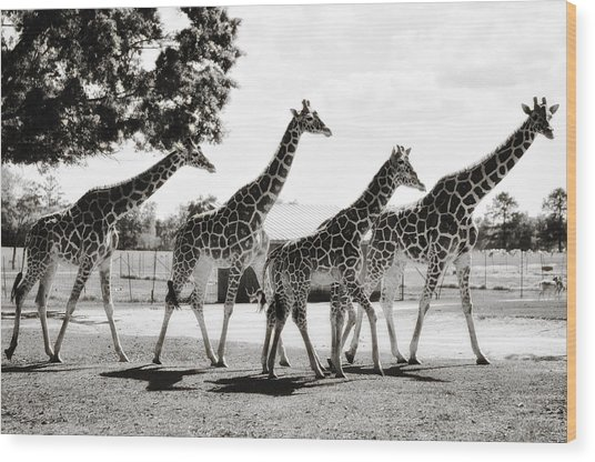 A Tower Of Giraffe - Black And White Wood Print