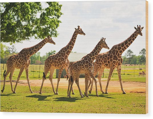 A Tower Of Giraffe Wood Print