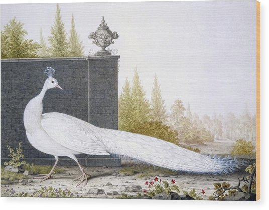 A White Peahen Wood Print