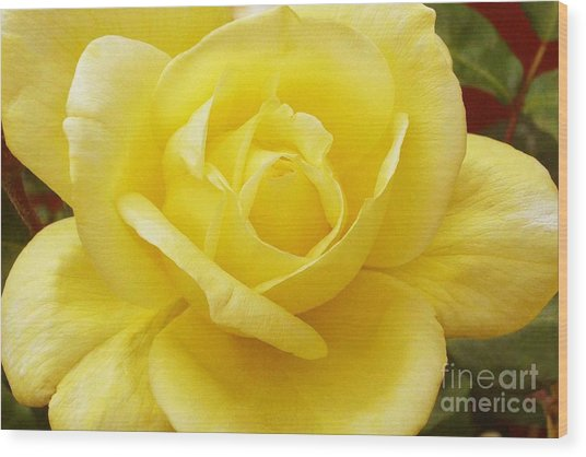 A Yellow Rose Wood Print