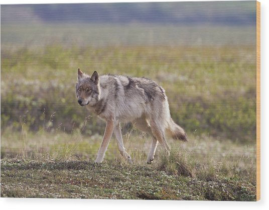 A Young Gray Wolf From The Grant Creek Wood Print