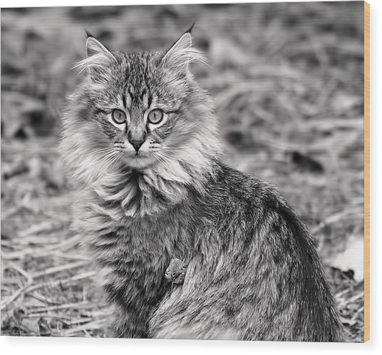 A Young Maine Coon Wood Print