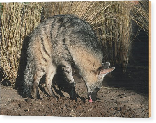 Aardwolf (proteles Cristatus) Hunting, Side View, Africa Wood Print by Martin Harvey