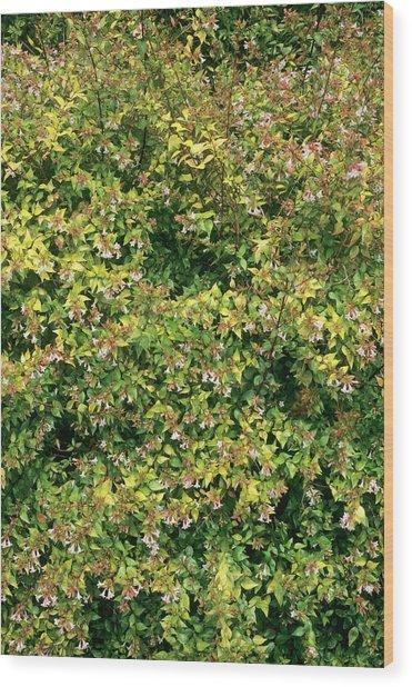 Abelia X Grandiflora Francis Mason By Geoff Kiddscience Photo Library
