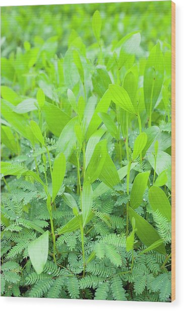 Acacia Seedlings Wood Print by Scubazoo/science Photo Library