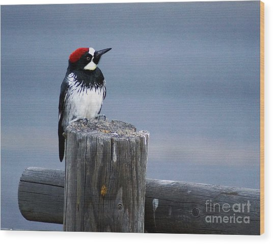 Acorn Woodpecker Wood Print