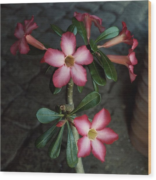 Adenium Flowers At The House Of Jean Schlumberger Wood Print