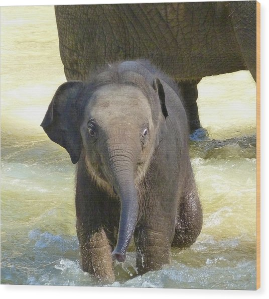 Adventurous Baby Asian Elephant  Wood Print