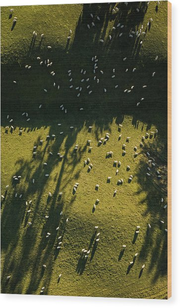 Aerial View Of Sheep Grazing Wood Print by Jason Hosking