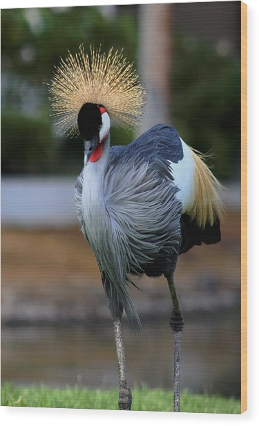 African Crowned Crane Running Wood Print