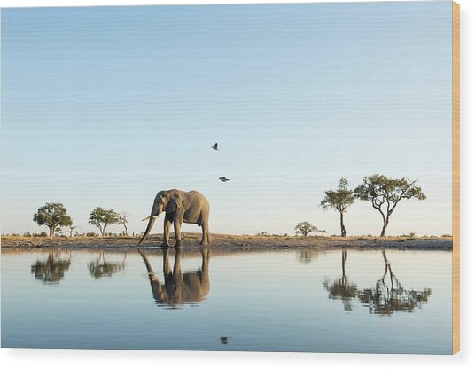 African Elephant At Water Hole, Botswana Wood Print by Paul Souders