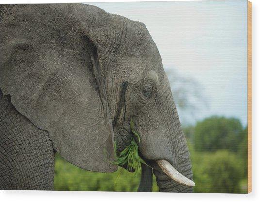 African Elephant Eating Wood Print
