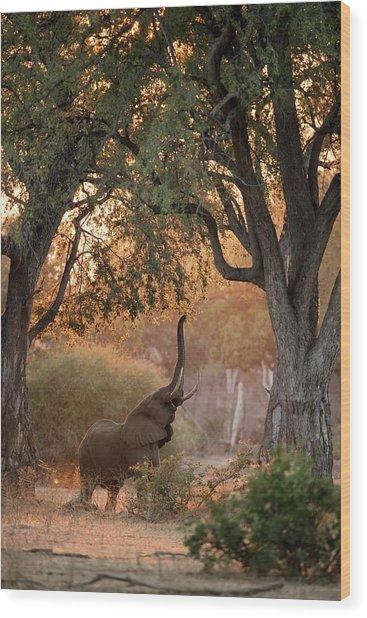 African Elephant Feeding At Dawn Wood Print