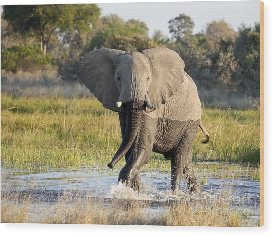 African Elephant Mock-charging Wood Print