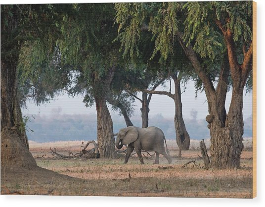 African Elephant On Zambezi Floodplain Wood Print