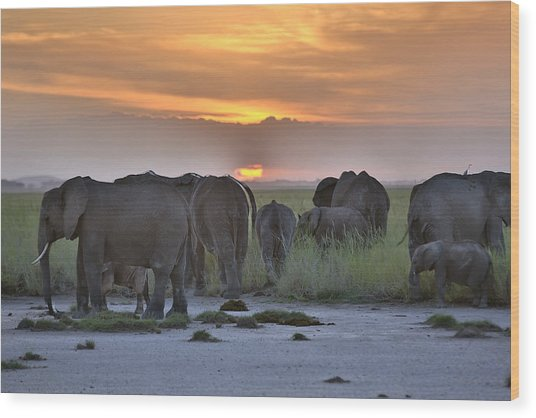 African Elephants At Sunset Wood Print by 1001slide