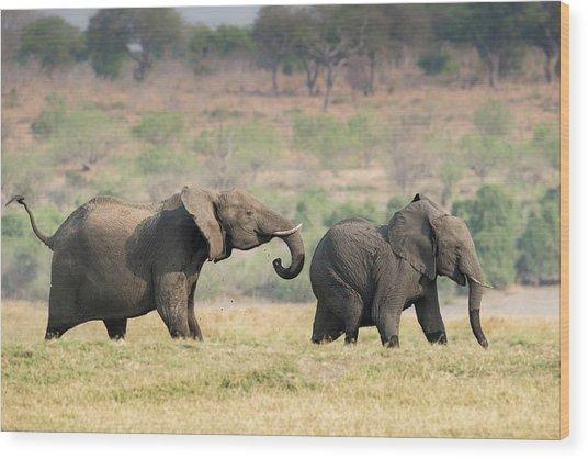 African Elephants On The Chobe Floodplain Wood Print