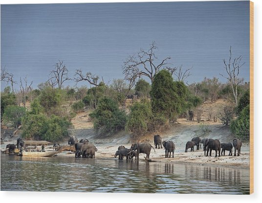 African Elephants On The Chobe River Bank Wood Print