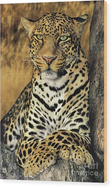 African Leopard Portrait Wildlife Rescue Wood Print