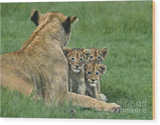 African Lion Cubs Study The Photographer Tanzania Wood Print