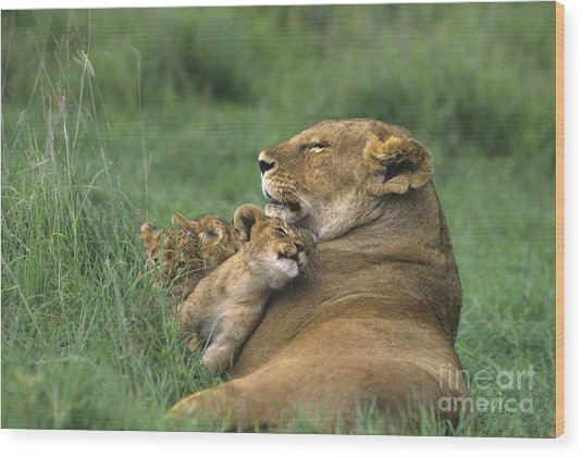 African Lions Mother And Cubs Tanzania Wood Print