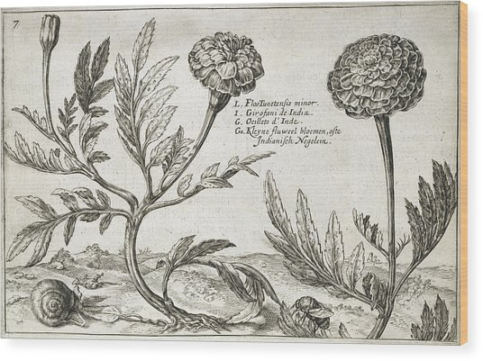 African Marigolds (tagetes Erecta) Wood Print by Natural History Museum, London