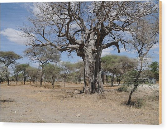 African Series 3000 Year Old Tree Wood Print by Katherine Green