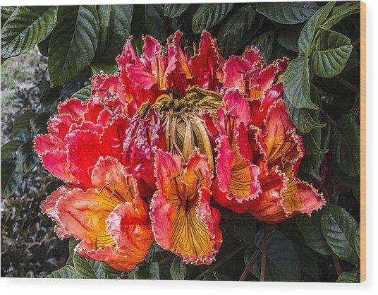 African Tulip Tree Flowers Wood Print