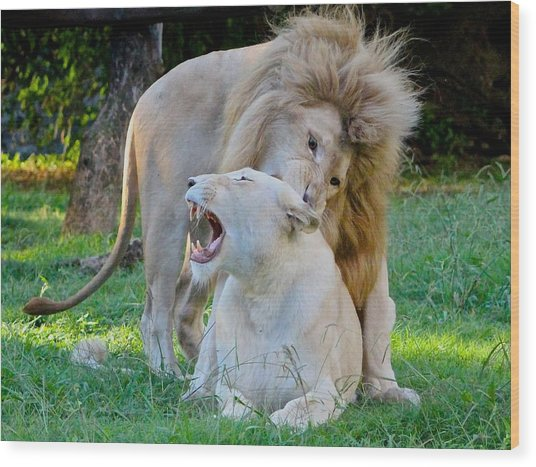 African White Lions Wood Print