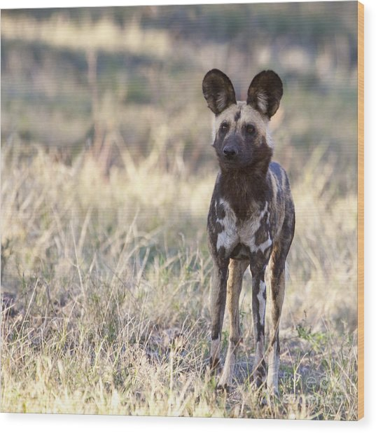 African Wild Dog  Lycaon Pictus Wood Print