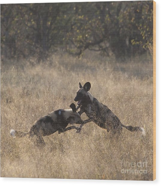 African Wild Dogs Play-fighting Wood Print