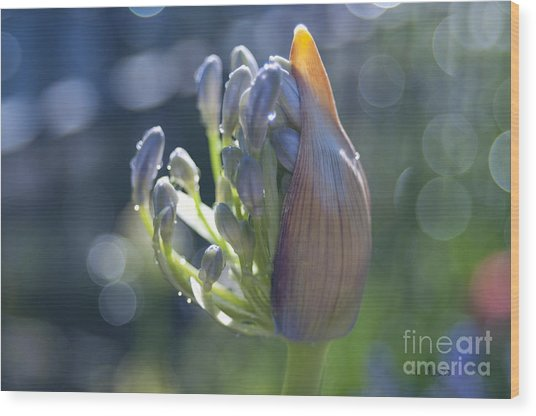 Agapanthus Coming To Life Wood Print